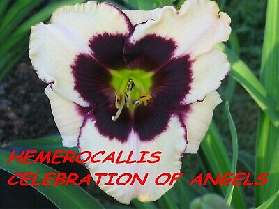 "Hemerocallis,Taglilie, Daylily ""Celebration of Angels ""  2 plantas"