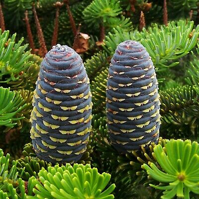 KOREAN FIR (Abies Koreana) 20 seeds (#666)