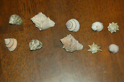 """Set Of 10 Assorted Small Hermit Crab Seashells 1/2"""" To 1""""--Set 24"""