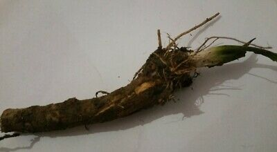 Horseradish (Armoracia Rusticana) - fresh roots 40 gr - ready for planting now