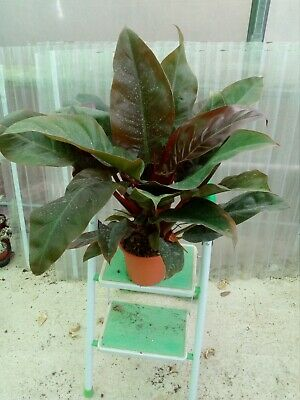 PHILODENDRON IMPERIAL RED --------PLANTAs GRANDES
