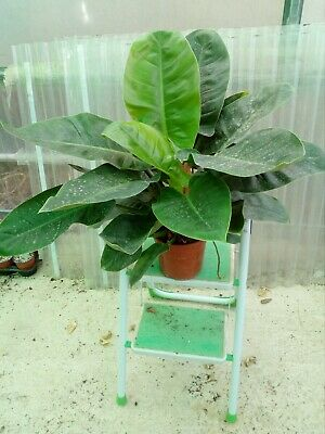 PHILODENDRON IMPERIAL GREEN --------PLANTAs GRANDES