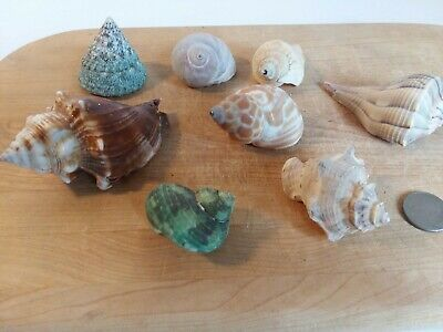 8 Medium Large Sea Shells - For Hermit Crab, Craft Or Collection