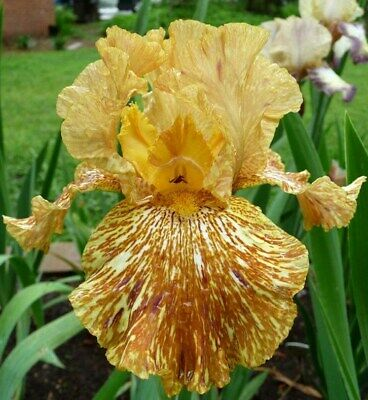 "Iris Germanica,Bearded Iris,  ""Tiger Honey""  2 Plantas"