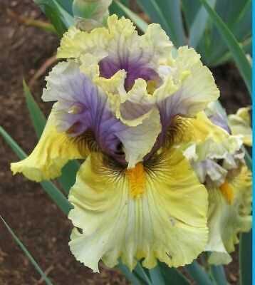 "Iris Germanica,Bearded Iris,  ""Trade Secret""  2 Plantas"