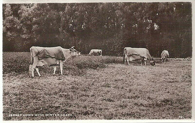 Vintage Real Photo Postcard - Jersey Cows With Winter Coats UK, Unused