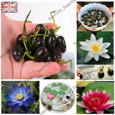 RARE Water Lily Bonsai, Nymphaeaceae Bowl Flower - 10 Viable Seeds - UK Seller