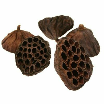 Large Natural Dried Lotus Seed Pod Heads x 20 Christmas Florist Wreath Craft