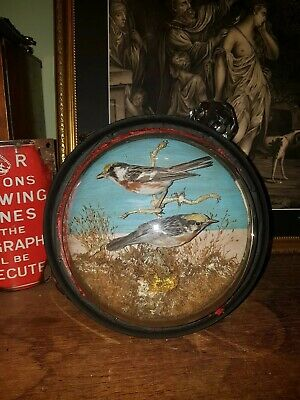 Antique Taxidermy Glass Wall Dome Bird Display Curio sparrow victorian