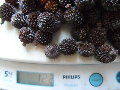 Casuarina Pods native Collected Naturally Dried Aust Bush 120g Craft pinecones