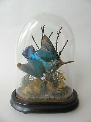 Antique Taxidermy Kingfisher Glass Dome