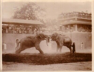 Push of war Elephants Show Viceroy India combat arènes Inde Vice roi old Photo