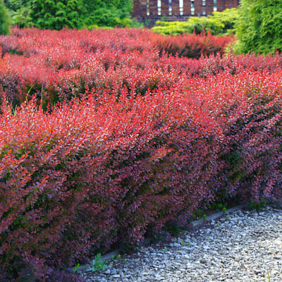 Berberis Thunbergii 3fatpigs/® 1 Japanese Barberry Hedging Plant 1-2ft
