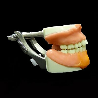 Dental Typodont Oral Surgery Extraction Model, Dental Model