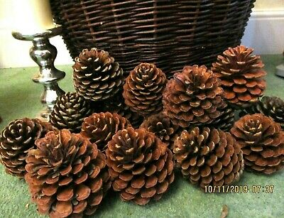 ## A REAL BARGAIN *10 **XL HUGE MARITIME PINE CONES 13CM x 16CM*CHEAPEST ON EBAY