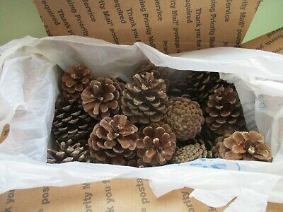 Northern Michigan Red Pine Pine Cones Lot of 25 #2