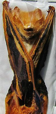 """Asian Painted Bat Kerivoula picta Hanging Near 3"""" Taxidermy FAST FROM USA"""