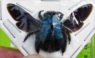 Uncommon Blue Carpenter Bee Xylocopa caerulea Female FAST FROM USA
