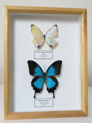 Real Butterflies Morpho Sulkowskyi Mother Of Pearl & Papilio Ulysses Framed