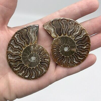 A Grade Ammonite Fossil Pair - Stunning Colour - 360 Millions Years Old (#4157)
