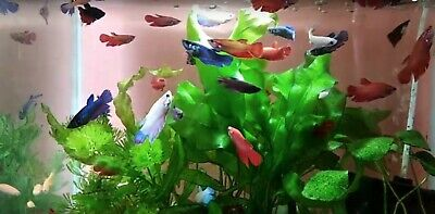 Betta Fish Live Assorted Female Betta Fish - IMPORTED FROM THAILAND