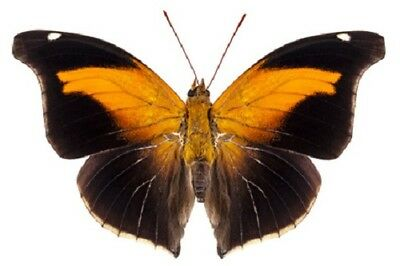 Orion Cecropian Butterfly Historis odius orion Male Folded FAST FROM USA