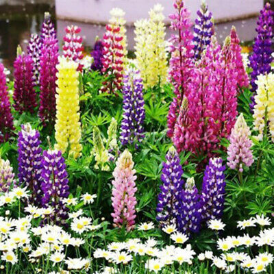 LUPINE RUSSELL Lupinus Polyphyllus Russell 600 Bulk Seeds