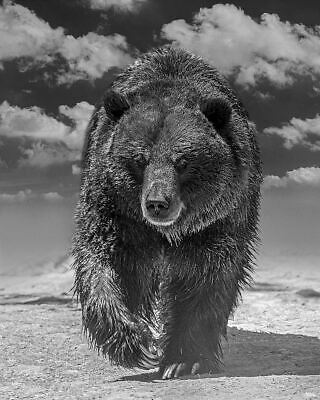 BEAUTIFUL GRIZZLY BEAR PHOTOGRAPH ON COTTON RAG ARCHIVAL PAPER 24x30 INCH