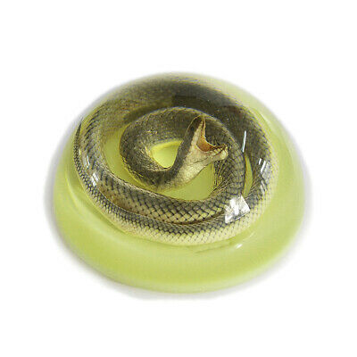 """Real Snake embedded in 4"""" dome glow in dark background"""
