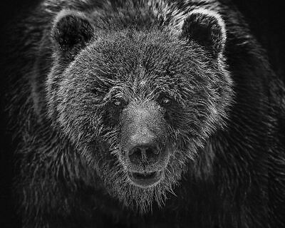 Beautiful Grizzly Bear Photograph On Cotton Rag Archival Paper 20X16 Inch