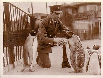 London Zoo Life moulting King Penguin & Keeper mue Manchots & gardien Photo 1935