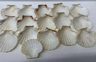 16 Scallop Shells - Baking, Candle Making, Wind Chime, Ornaments, Crafts