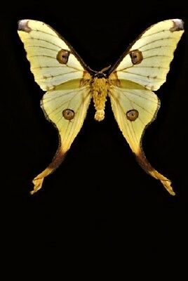 Uncommon Comet Moth Argema mittrei Female Folded FAST FROM USA