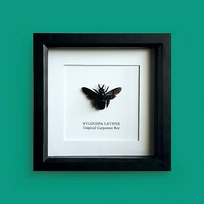 Tropical Carpenter Bee (XYLOCOPA LATIPES) in Box Frame Taxidermy Insect Art