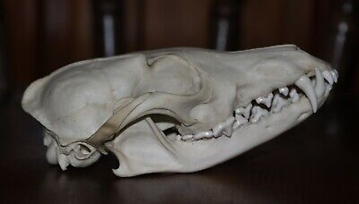 Real Animal Skull Red Fox Skull Genuine Bone Taxidermy Education Collection UK!