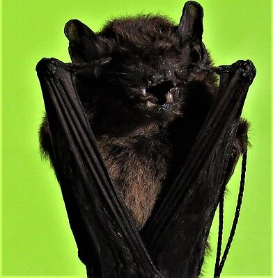 Real Lesser Bamboo Bat Tylonycteris pachypus Hanging FAST FROM USA