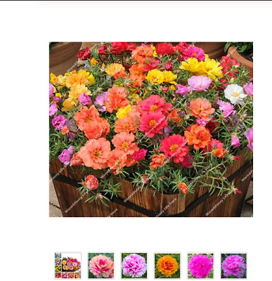 Flower Large Packet 200 Seeds Portulaca Happy Trails Mix