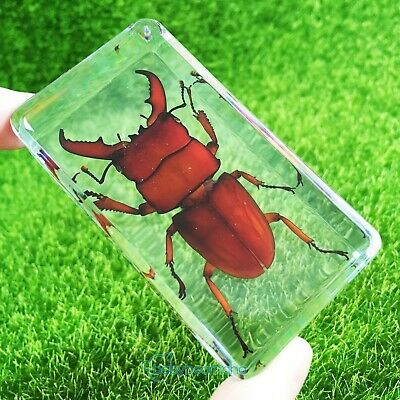 Green Beetle Specimens Vogue Paperweight Crafts As Gift Small Block 73x41 mm