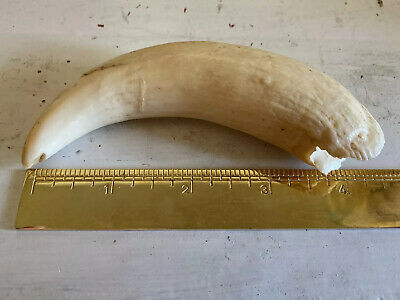 #3 Whale Tooth for Display Imitation Replica Engraving Scrimshaw