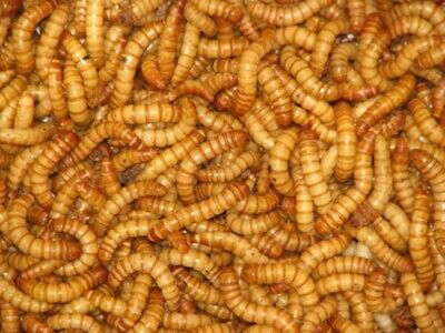 Bestbait Live Giant Mealworms Free Shipping Live Arrival Guarantee