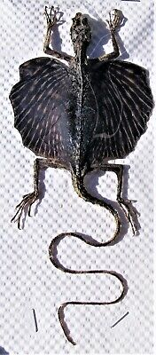 Flying or Parachute Gecko Ptychozoon kuhli Taxidermy 140-160mm FAST USA