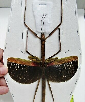 Seram Island Winged Stick Bug Anchiale maculata Female Spread FAST FROM USA