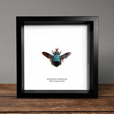 Blue Carpenter Bee in Box Frame Taxidermy Insect Art Interior Design