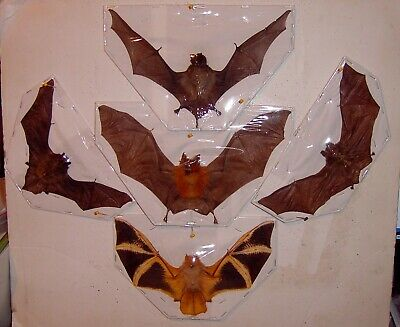 Bat Taxidermy 5 Species of Nicer End Bats Displayed In  Flying Position