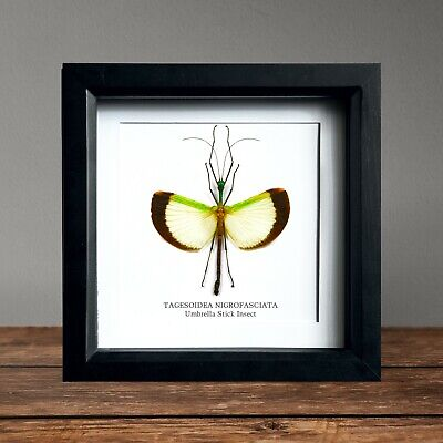 Giant Stick-Insect Paracyphocrania major SET x1 A spread wings Amazing #j01