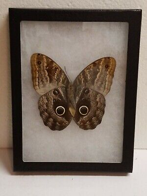 Real framed Owl Butterfly(M) from Peru