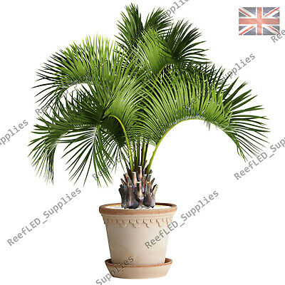 RARE Butia Odorata, Capitata Hardy Jelly Palm Tree - 5x Viable Seeds - UK SELLER
