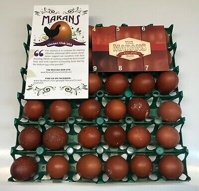 12++ Black Copper Marans Hatching Eggs ~Established Bloodlines~