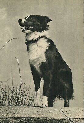 BORDER COLLIE DOG  Vintage 60 year-old Full Page Photo Print