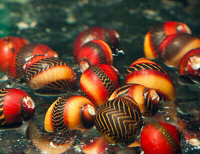 Red Racer Nerite Snails Assorted 1 or 2 or 5 or 10